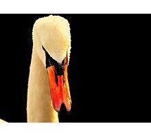 Swan Head On Black Photographic Print