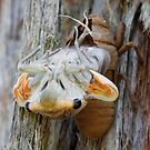 Cicada hatching by nataliewinter