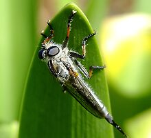 Robber Fly by Rick Playle