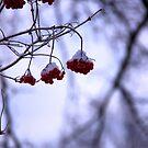 Winter rubies by LadyFi