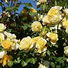 Rose 13 by Beverley  Johnston