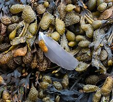 Bladderwrack and a gull's feather by leightoncollins