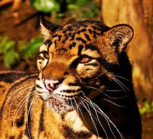 Clouded Leopard (Neofelis nebulosa) by buttonpresser