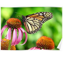 splendid orange and white spotted butterfly on purple flower Poster