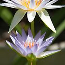 Water lily by Adriano Carrideo