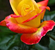 Love and Peace Rose by John Butler
