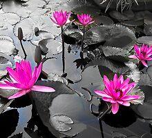 Pink Lotus Pool by Ravi Chandra