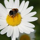 Daisy Bee by Rebecca Eldridge