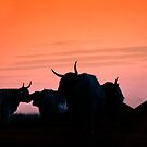 Cattle in Sunset by Sue Knowles