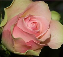 Peace Rose by Brian Sharland