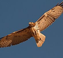 112110 Red Tailed Hawk by Marvin Collins