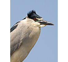Black Crowned Night Heron Photographic Print
