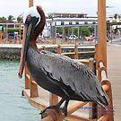 Male Galpagos Brown Pelican (Galapagos Calendar #1) by mgeritz