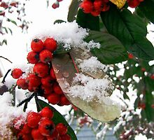 Winter Berries by Caroline Anderson