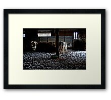Cold Cows Framed Print