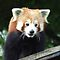 Red Panda (Ailurus fulgens) by RCTrotman