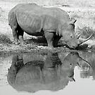 White rhino reflection by jozi1