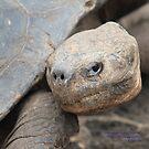 Galapagos Giant Tortoise (Galapagos Calendar #6) by mgeritz