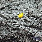 Yellow Warbler (Galapagos Calendar #7) by mgeritz