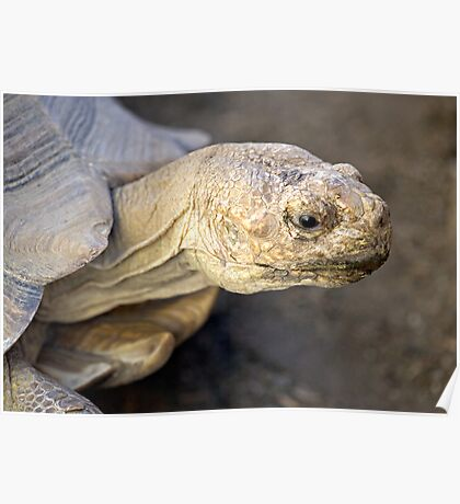 Sulcata Tortoise Poster
