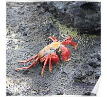 Sally Lightfoot Crab (Galapagos Calendar #13) Poster