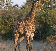 Giraffe watching by Sara Friedman