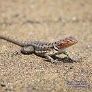 Female Lava Lizard (Galapagos Calendar #10) by mgeritz
