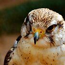 Saker Falcon - Falco Cherrug by evilcat