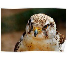 Saker Falcon - Falco Cherrug Poster