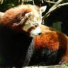 Red Panda Print 9 by NonfatalNerdism