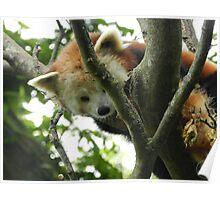 Red Panda Print 11 Poster