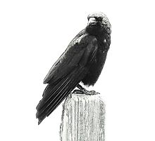 Crow In Half Tones - Marin County, CA by Rebel Kreklow