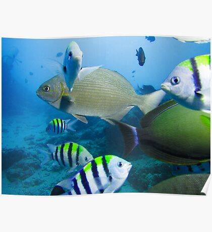 Swarmed by fish on deco Poster