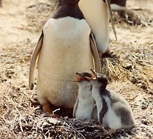 Gentoo Penguins.  iwhbda. yes i was. by dougie1page2