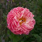 peony#5, Blenheim, garden festival, NZ by johnrf