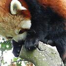 Red Panda Print 18 by NonfatalNerdism