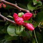 bright pink buds by dedmanshootn
