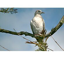 Partridge in a pear tree! Photographic Print