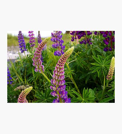 curly lupin Photographic Print