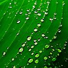 Canna Droplets by Anthony Sarow