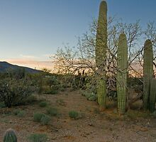 cactus in Tucson by antonalbert1
