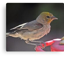YELLOW HEADED WARBLER ON PERCH Canvas Print