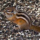 Pretty little chipmunk in a park by Ann Reece