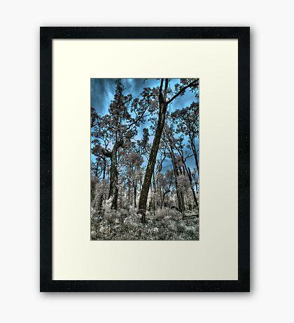 Jarrahwood forest, blue sky IR Framed Print