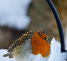 Robin in snow, The Rower, County Kilkenny, Ireland by Andrew Jones