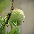 Just peachy by samhicks