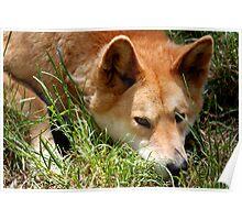 Sleepy Dingo Poster