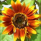 Bees on Red Sunflower by ©The Creative  Minds