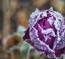 Frosty Rose by Louise Maton