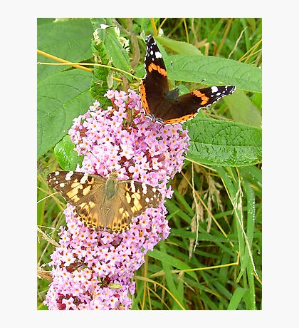 """Red Admiral & Painted Lady share a """"Bud"""" Photographic Print"""